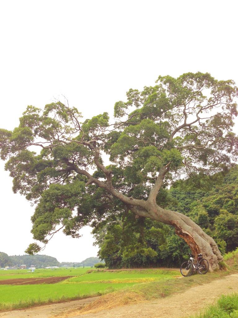【印西市ロケ地】「花子とアン」「信長協奏曲」に登場した榎の木!