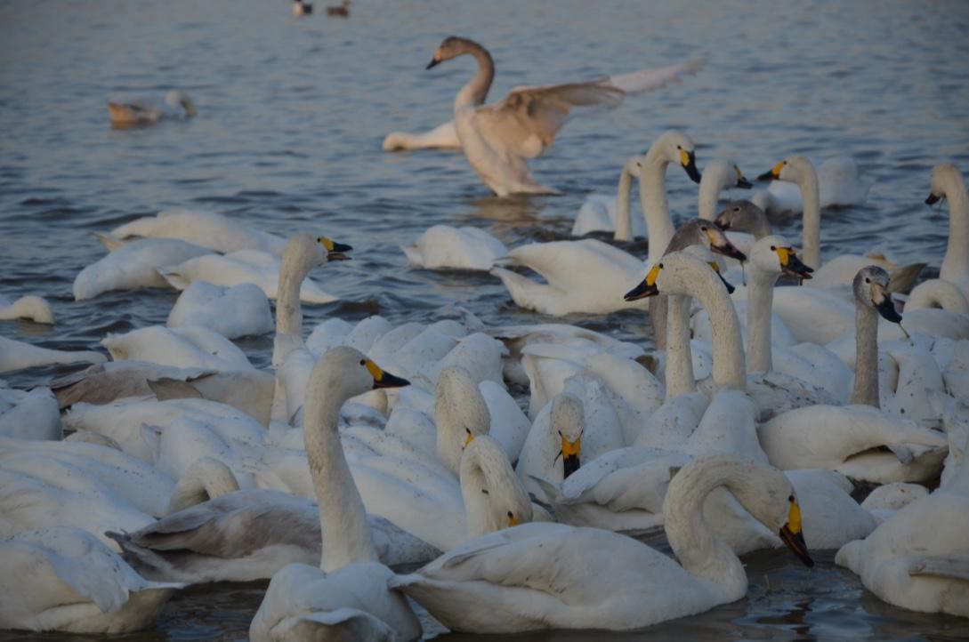 印西市本埜の「白鳥の郷」は午後4時(16時)が狙い目!