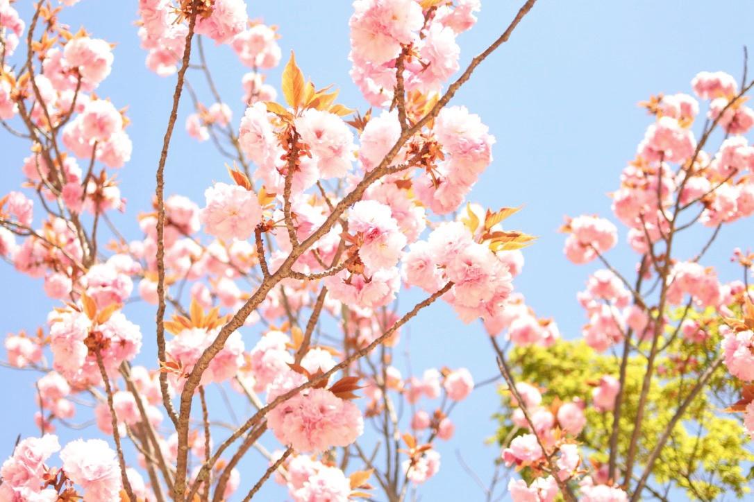 【世界遺産「仁和寺」】遅咲き『御室桜』はいつまで見られる??