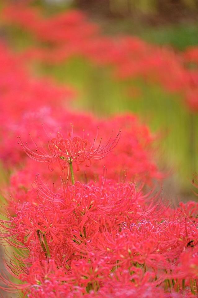 結縁寺の彼岸花