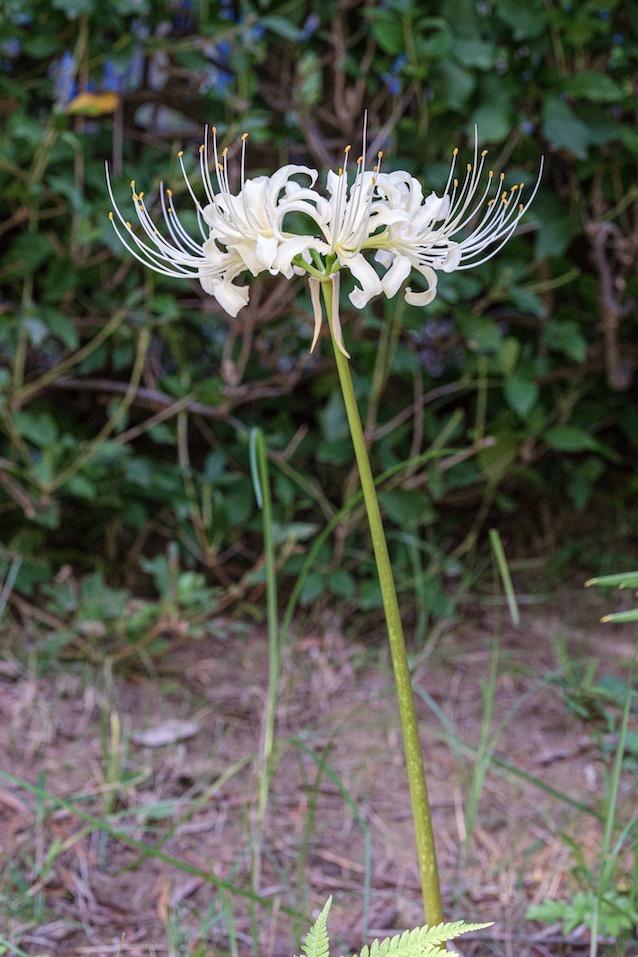 結縁寺と白い彼岸花
