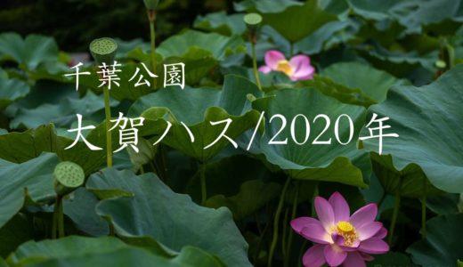 【大賀ハス/千葉公園】木道から至近距離で撮影できる名スポット