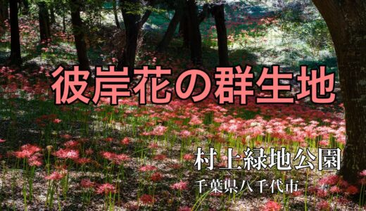 村上緑地公園(八千代市)の彼岸花|木立に咲く20万球が圧巻